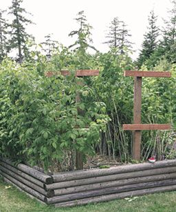 How to Grow Raspberries. The original 20 raspberry plants have grown into a full bed from which the author picks 2 gallons of raspberries a day during the summer months, roughly a pint per plant, though the amount tapers off as fall approaches.