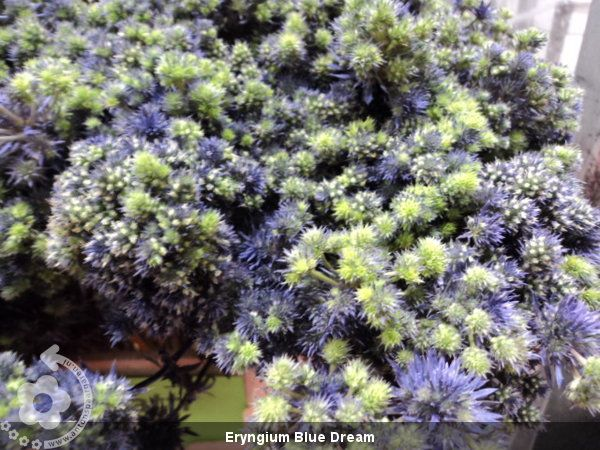 Eryngium+Blue+Dream (600×450)