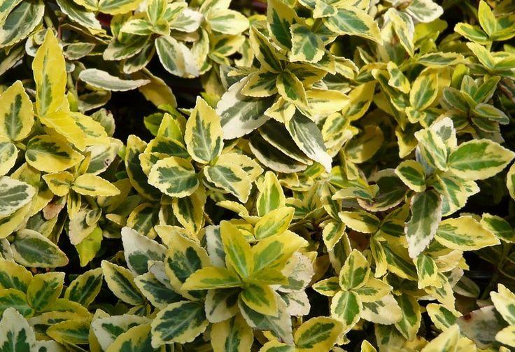 arbustes persistants recherche google arbustes rampants pinterest arbuste arbuste. Black Bedroom Furniture Sets. Home Design Ideas
