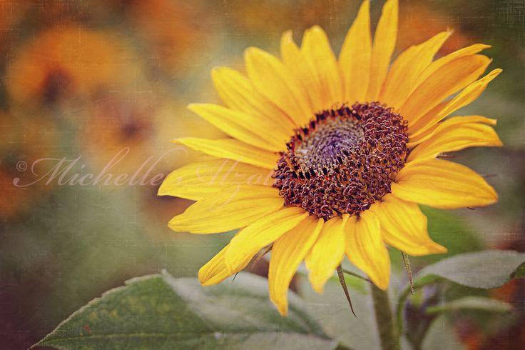 Sunflower   IMG_4368