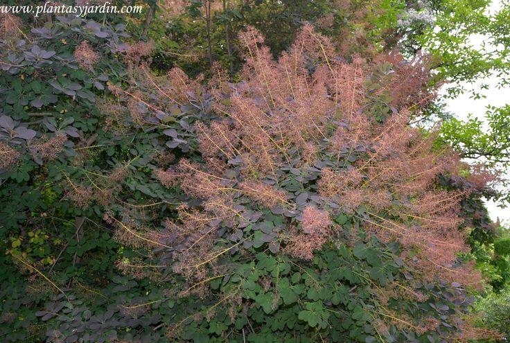 Cotinus coggygria Purpurea, Árbol de la peluca, Árbol del humo: arbusto caduco con espectaculares colores otoñales