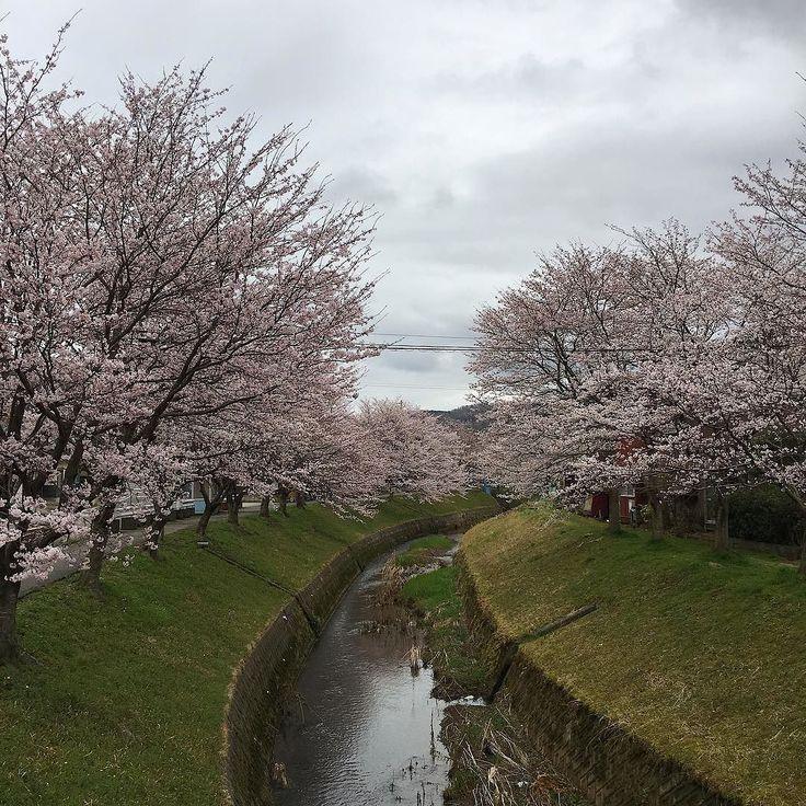 また一年経ちましたね桜の季節曇りがちな空の下いつもの場所で #vscocam #vscom #vscogram #landscape #flower #花 #景色 #春 #桜 #cherryblossoms #spring #cloudy #local #nature #naturelovers #iphone #鳥取 #移住