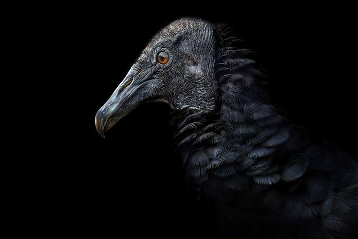 """Black Beauty""  Geier - vulture  .  Animal Photography Artwork"