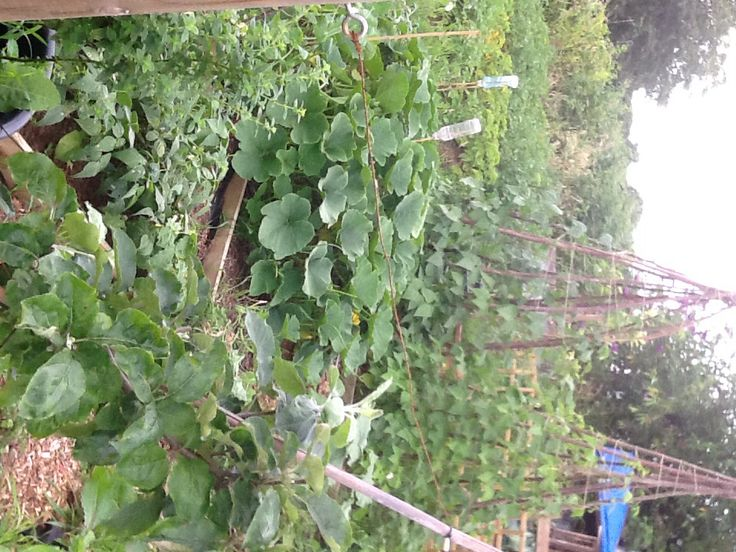 Winter squash, beans and summer