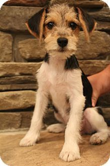 Image Result For Wire Fox Terrier Beagle Mix Beagle Mix Puppy