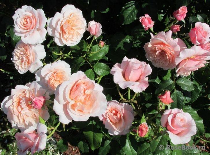 роза де толбиак от кордеса фото фитболе