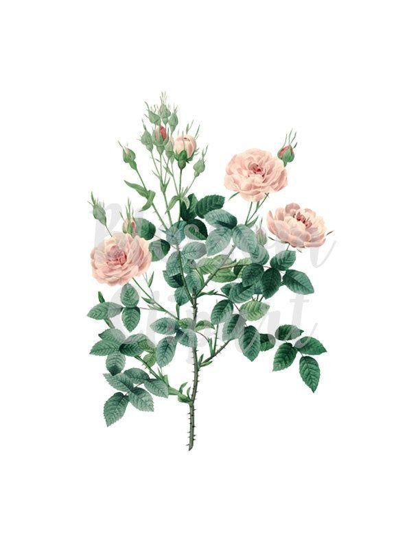 Rose Clipart Flower Vintage Rose Png Clipart Botanical Etsy Flower Illustration Vintage Flowers Wallpaper Vintage Flowers