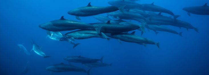 Enter the mysterious world of the false killer whale