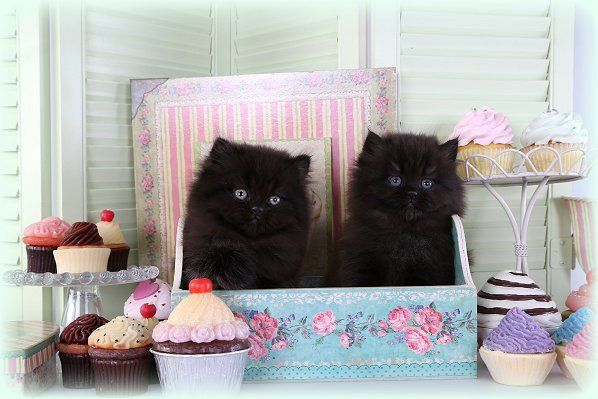 Solid Black Teacup Persian Kitten For Sale  OMG THEY COME IN BLACK!!!!!  NEEEED!!!
