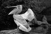 Wild Shots Pelican by Jaromir Mosner