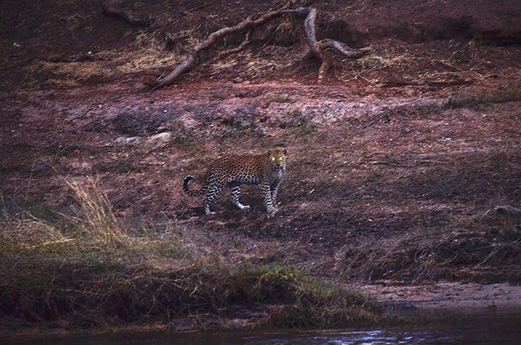 Leopard at Royal Chundu