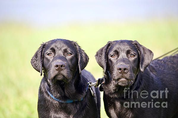 Brothers By Rachel Morrison Black Labrador Retriever Labrador Retriever Furry Friend