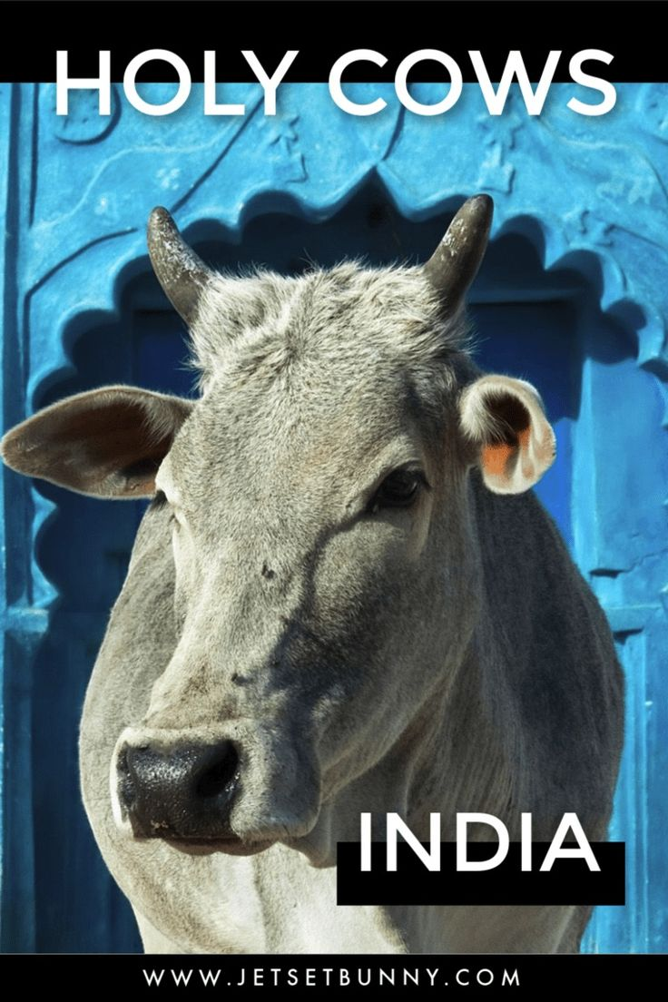 India's Hindus & Holy Cows Jetset Bunny bows down to the