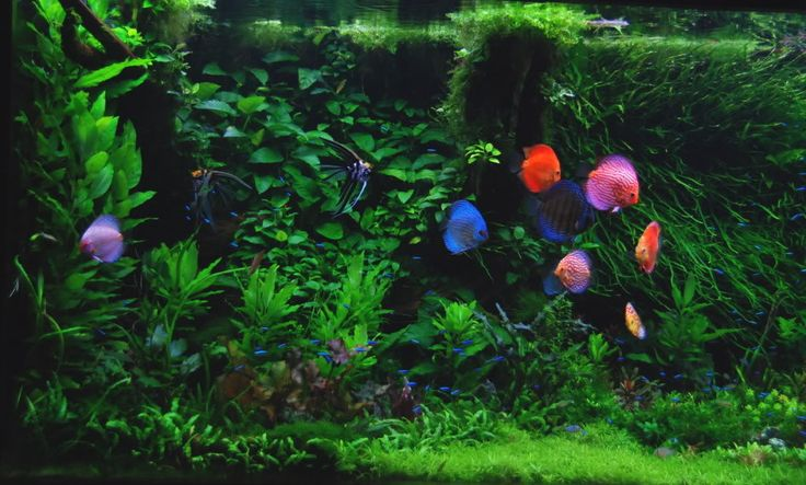 jeff senske heiko's lesson aquarium discus - Google Search