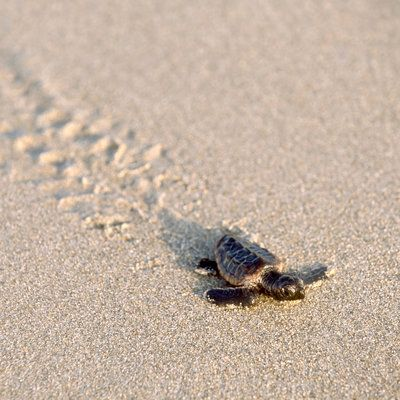 the best places to see sea turtle nests and watch tiny turtles make their way to the ocean for the very first time!