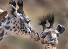 Giraffe Billy Dodson