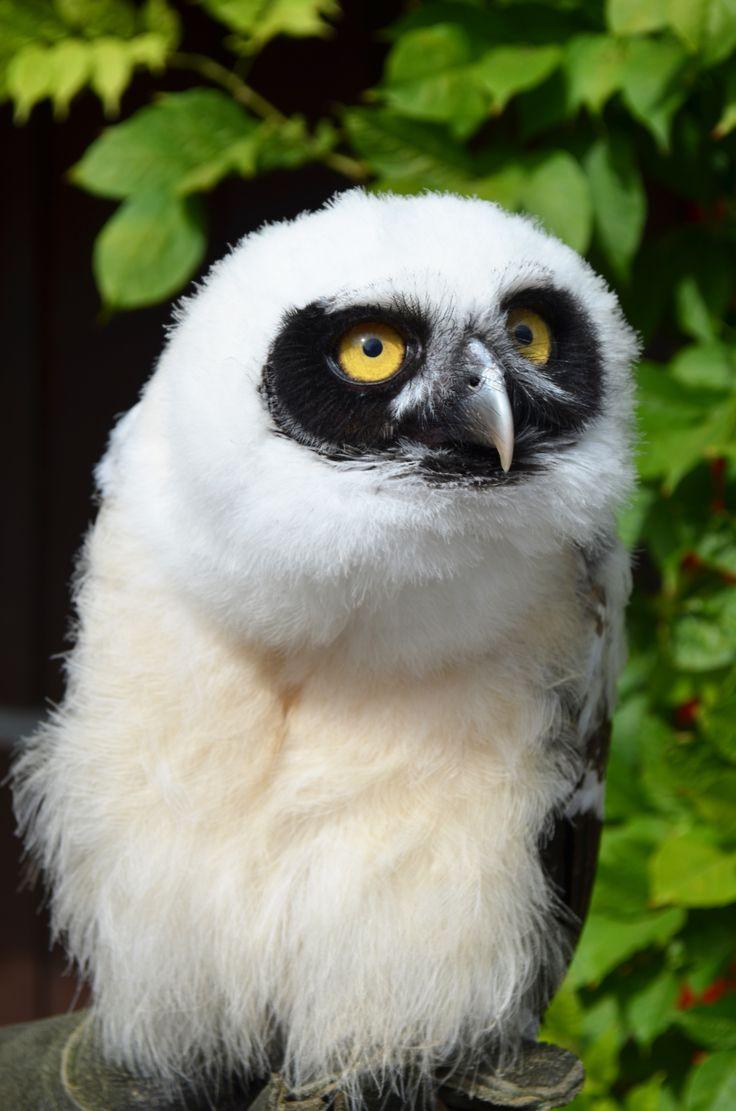 ~~Spectacled owl chick named Elvis~~