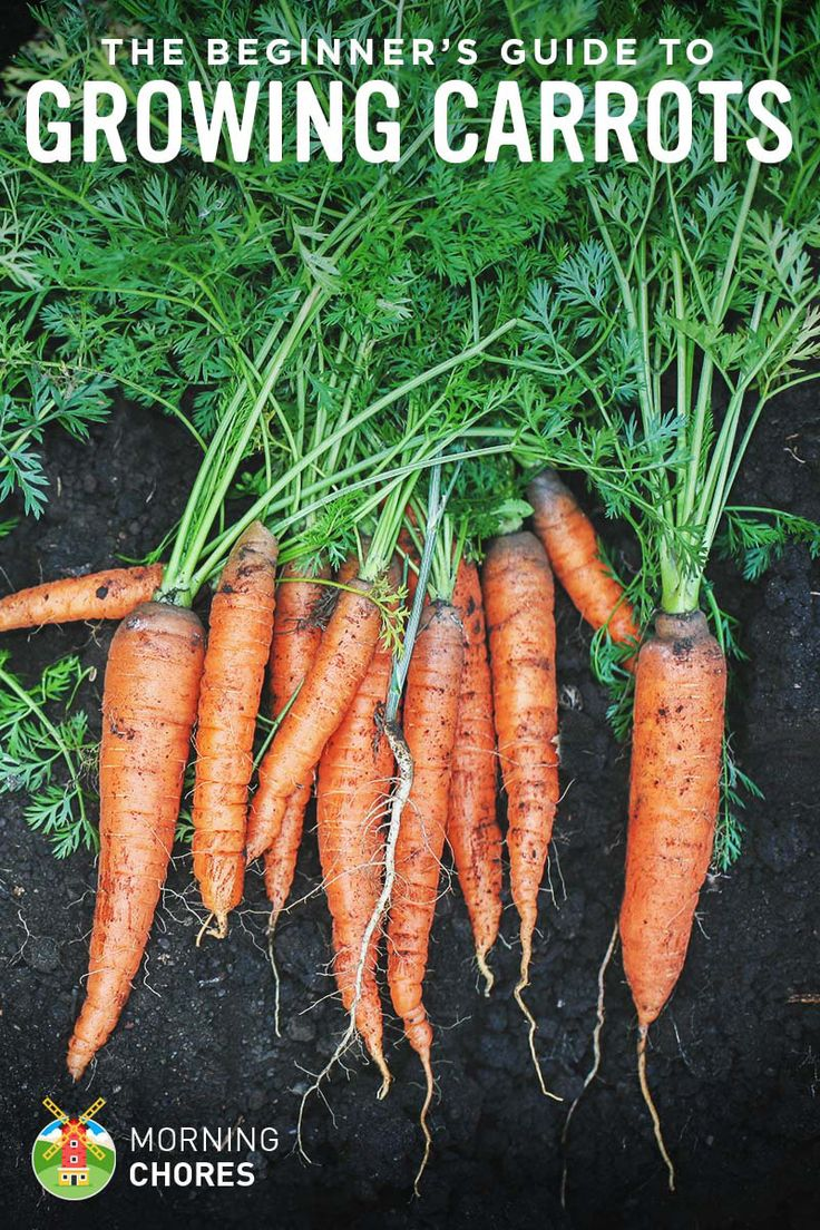 Growing Carrots: The Beginner's Guide to Raising an Amazing Crop of Carrots