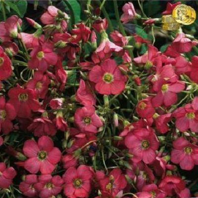 Oxalis Iron Cross. Planteaza 1 bulb in  aprilie - mai si vei avea flori din iunie pana in septembrie - octombrie.