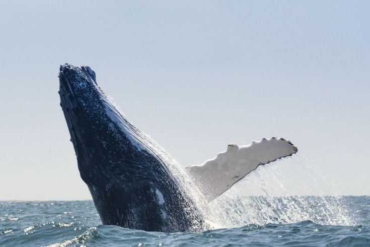 México: La ballena jorobada es nuevamente una especie vulnerable