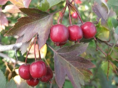How Much Hawthorn Berry Should You Take?