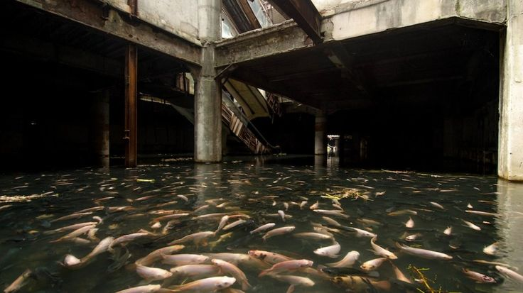 An abandoned mall in Bangkok, Thailand has been overtaken by fish! The mall, which reportedly caught fire in 1999, has since flooded with several feet of water and become a paradise for koi and catfish. Someone deliberately introduced fish into the vacant mall. (photo by Jesse Rockwell)