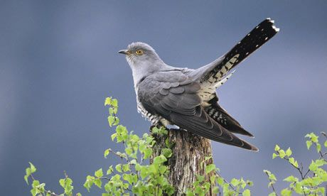 The official list of the UK's most threatened birds has recorded a 37% decline in the cuckoo since the mid-1990s. Photograph: Mark Hamblin/R...