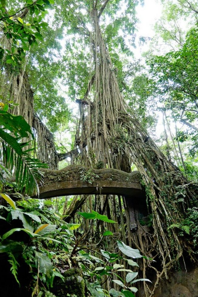 Bridge between banyan trees in Sacred Monkey Forest, Indonesia