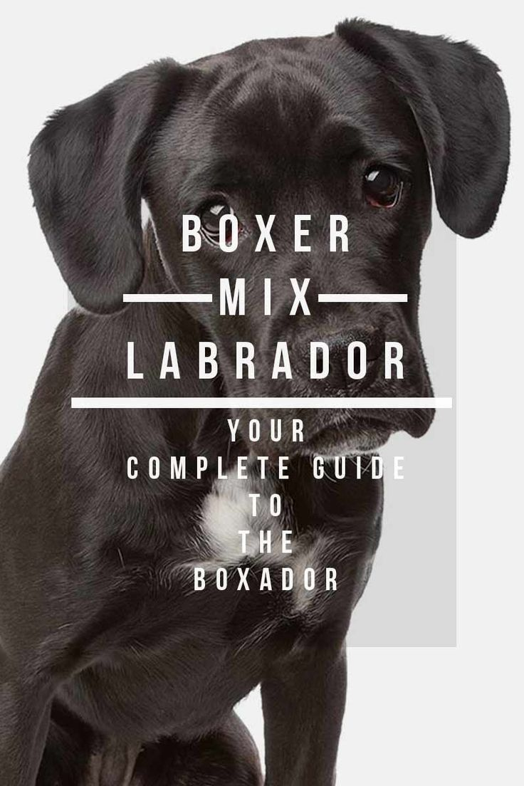 Boxer Labrador Mix - Your Complete Guide To The Boxador.