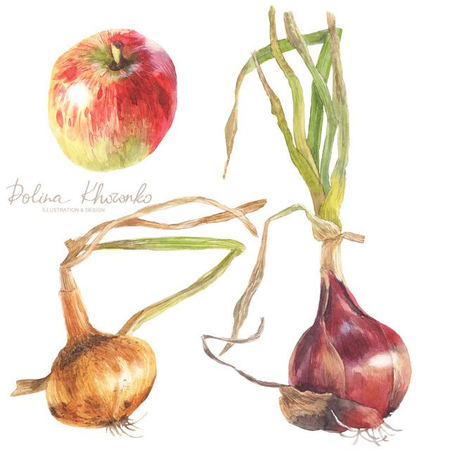 Botanical illustration of onions and apple by Polina Khoronko #watercolor #botanical #onion #apple