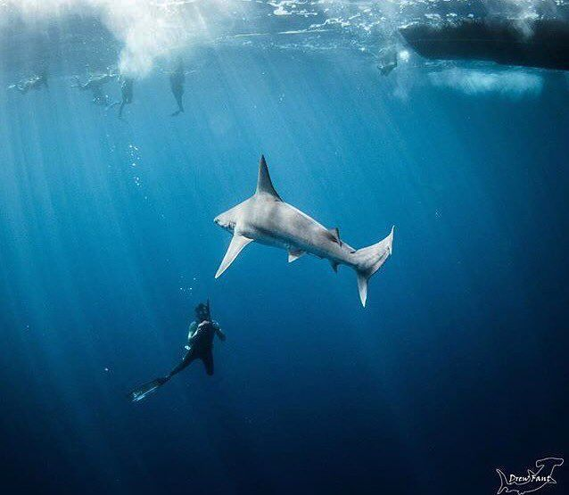 A sandbar Shark lines up for that perfect shot! Come join us on a Pelagic Open Water Freedive and #GetTheShot PC: @coconutcannon www.HawaiiAdventureDiving.com (808) 637-3474 #shark #underwaterphotography #sharks #diving #snorkeling #swimwithsharks #hawaiiadventurediving #freedive #hawaii