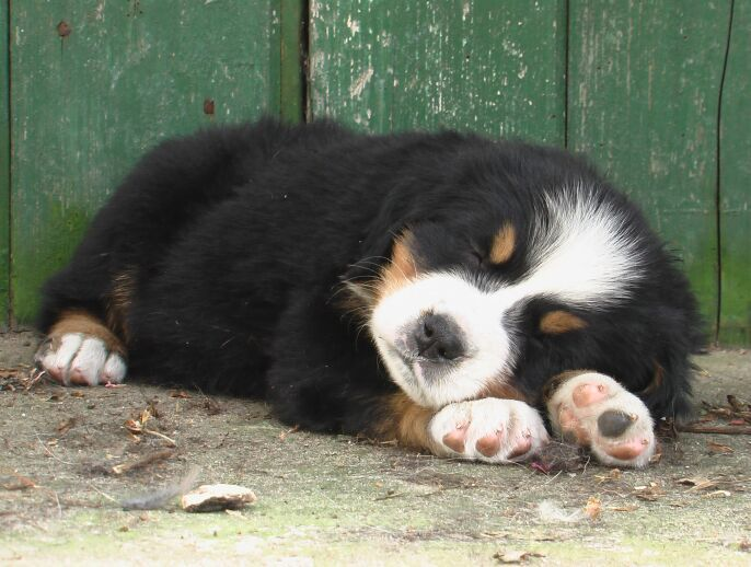 One day... I will have one or two of these cute Berner Sennen Pups at home ;)