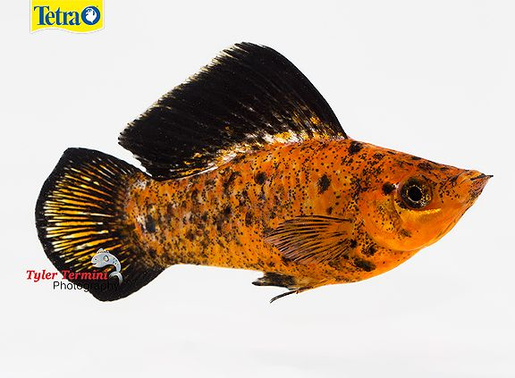 1111 best images about livebearers no guppy on pinterest for Good beginner fish