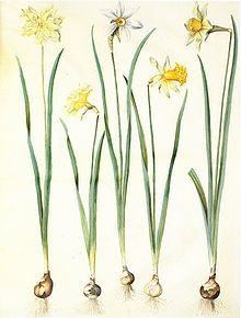 Narcissus, Daffodil, Jonquil etc.  Narcissus oil is used as a principal ingredient in 11% of modern quality perfumes - including 'Fatale' and 'Samsara' - as a floral concrete or absolute.  The oil's fragrance resembles a combination of jasmine and hyacinth.