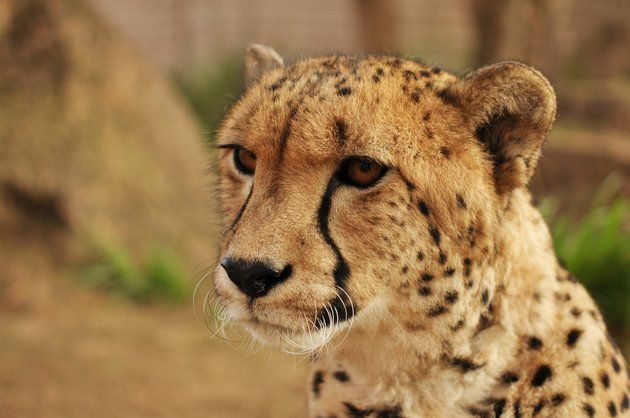 """""""We need to come back to the potential of cheetahs to coexist with people."""""""