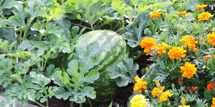 Companion planting just may help your garden grow.