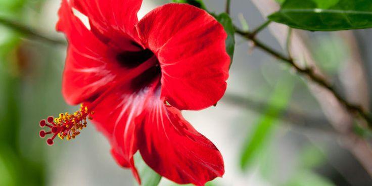 Les 25 meilleures id es de la cat gorie arbre d 39 hibiscus for Entretien hibiscus exterieur