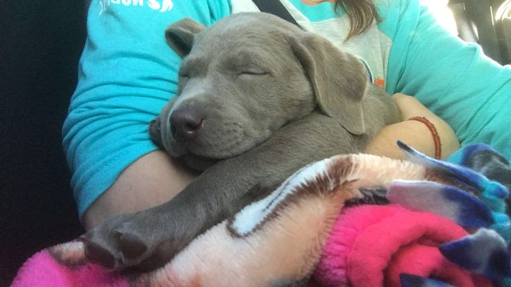 If looking for a good breeder for silver labs? DO NOT USE SILVER PLATTER CHOCOLATE LABS!  $250 deposit 9 months No puppy and money gone!