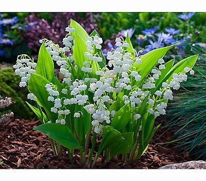 Maiglöckchen, weiß http://www.dehner.de/pflanzen-pflege-stauden-fruehjahrsstauden/Maigloeckchen-weiss-X008010076/