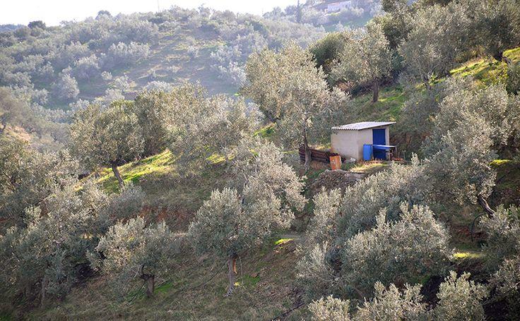 Olive groves Poros