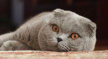9. De Schotse vouwoorkat  Voor de kat met de aparte oren kun je tot wel €2100 betalen.