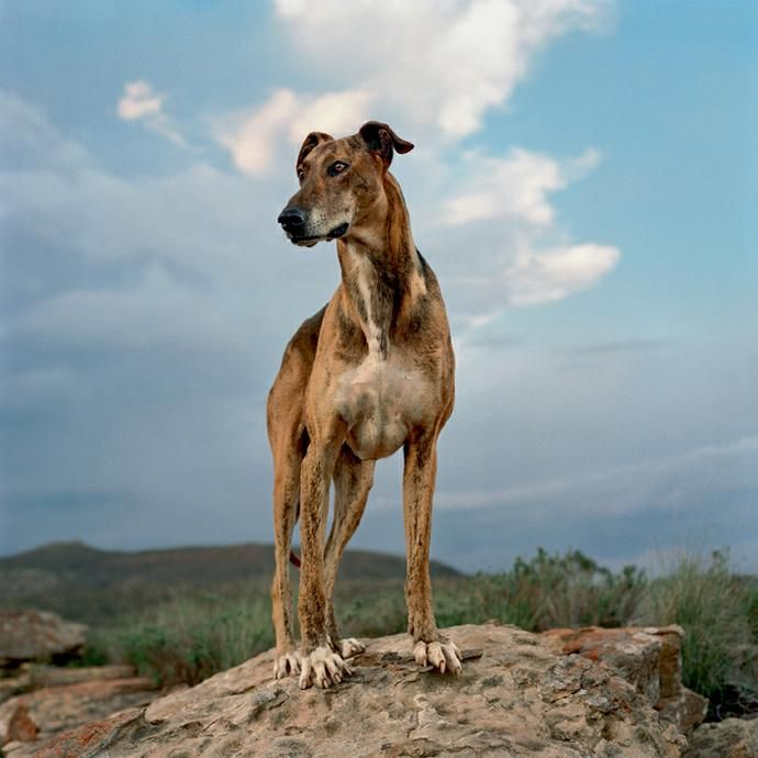 4. Rare insect, animal or reptile ~ The Africanis Dog; The Africanis is a landrace of South African dogs. It is believed to be of ancient origin, directly descended from hounds and pariah dogs of ancient Africa, introduced into the Nile Valley from the Levant.