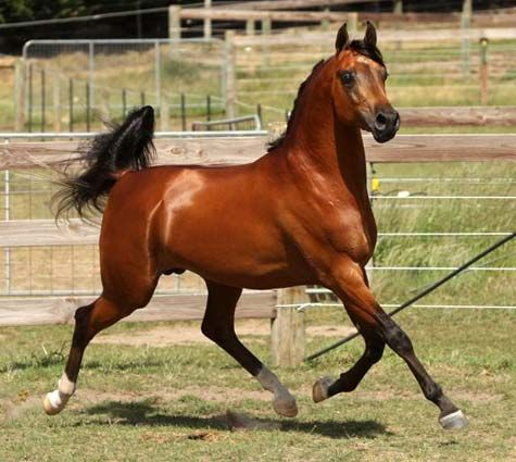 1515 Best Images About Bay And Chestnut Arabian Horses On