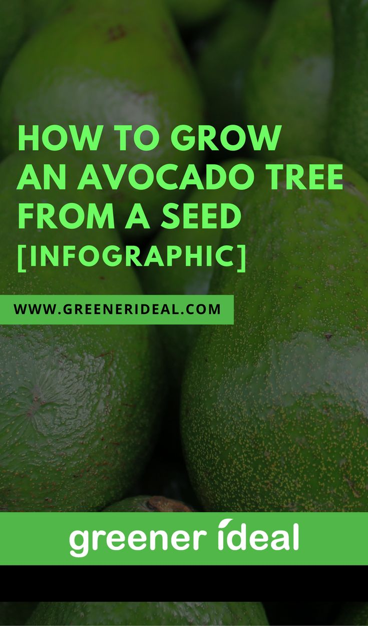 Check out this infographic to learn how you can grow an avocado tree from a seed (pit) in your own home.