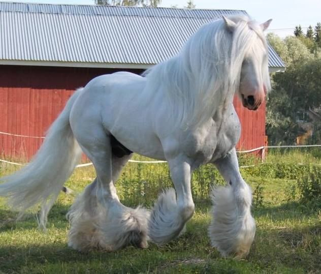Irish Cob stallion The Blue Boss | HORSES- Irish Cob ...