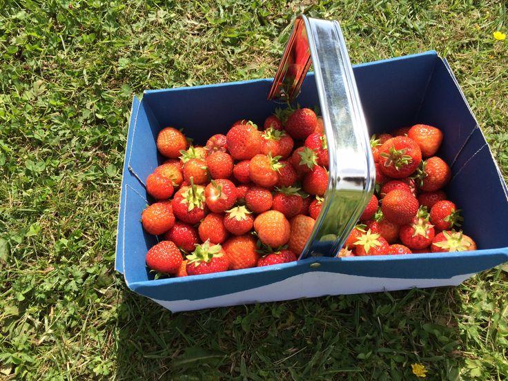 Strawberries picked from Cedarbarn Farm Shop & Cafe - July 2015