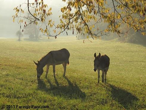 Daphne and Esmeralda in the misty morning hayfield