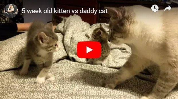 5 Week Old Kitten Vs Daddy Cat Cat Birthday Cards Funny Cats Funny Cat Compilation