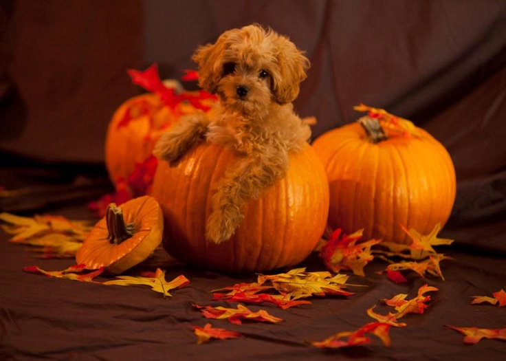 Willow, 3 months #Cavapoo #Fall #Halloween #Puppy