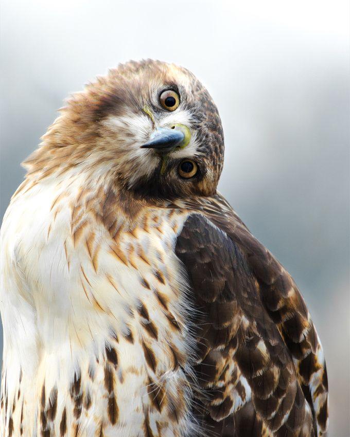Mejores 49 imágenes de ☠ Birds en Pinterest | Aves, Aves rapaces y ...